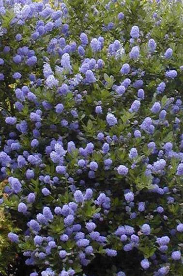 ceanothes avec de magnifique petite fleur bleu p pini re aix en provence p pini re jeanselme. Black Bedroom Furniture Sets. Home Design Ideas