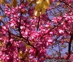l 39 arbre de jud e floraison pourpre en printempsavec les feuilles p pini re aix en provence. Black Bedroom Furniture Sets. Home Design Ideas