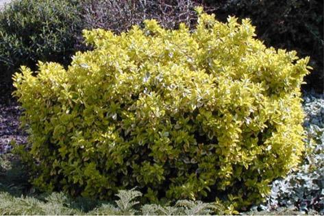 Fusain fusain du japon ou euonymus avec un feuillage tr s d coratif souvent panach p pini re - Fusain du japon panache ...