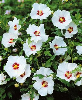 Hibiscus arbuste