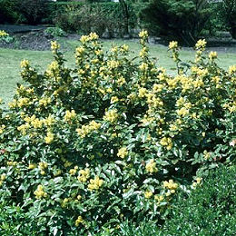 mahonia feuillage persistant floraison jaune vif p pini re aix en provence p pini re jeanselme. Black Bedroom Furniture Sets. Home Design Ideas