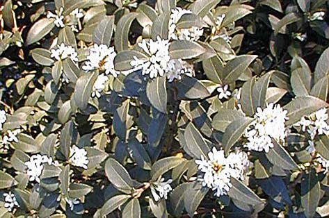Osmanthus feuillage color et persistant p pini re aix en provence p pini re jeanselme - Arbuste fleurs blanches feuillage persistant ...