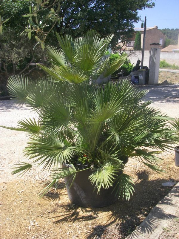 palmier chamaerops humilis p pini re aix en provence p pini re jeanselme. Black Bedroom Furniture Sets. Home Design Ideas