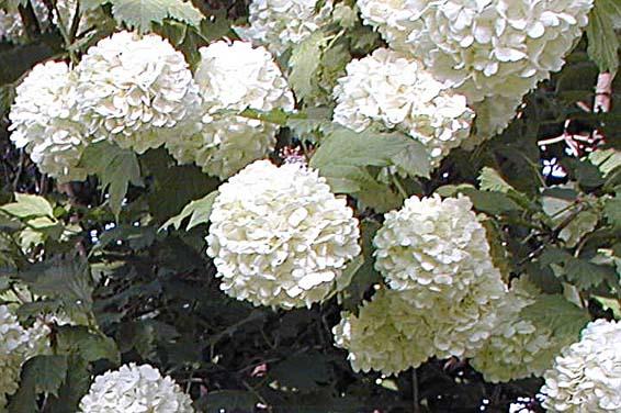 viburnum belle floraison blanche jardinerie et p pini re. Black Bedroom Furniture Sets. Home Design Ideas
