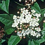 viburnum belle floraison blanche p pini re aix en provence p pini re jeanselme. Black Bedroom Furniture Sets. Home Design Ideas
