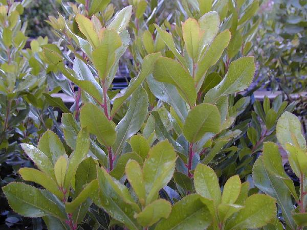 Vente de plantes de haie et arbustes aix en provence for Vente plantes arbustes