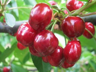 Nos archives p pini re aix en provence p pini re - Quand planter un cerisier ...