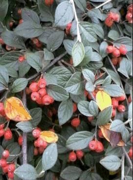 vente d 39 arbres fruitiers et plantes de haie bouc bel air p pini re jeanselme. Black Bedroom Furniture Sets. Home Design Ideas
